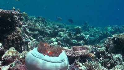 Anemone fish in a white anemone. The anemone is almost closed. In the background a colorful coral reef.