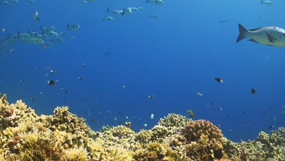 A school of snapper on a coral reef. Surgeonfish,Damselfish,Clown Triggerfish,Blennies and a Whitetip Reef Shark swims by