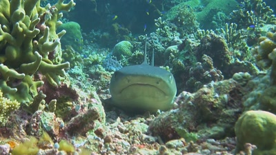 Whitetip reef shark with cleaner fish