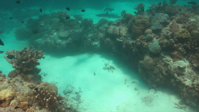 Whitetip Reef Sharks on a colorful coral reef