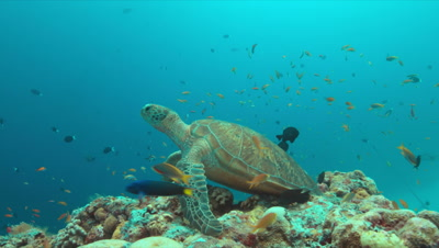 Green Sea turtle on a colorful coral reef with plenty fish