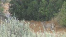 Iberian Lynx Cub Walking Through Small Clearing In Donana Np