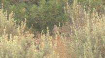 Young Iberian Lynx Cub Walking And Then Running Through Gaps In Dense Shrubs On Edge Of Forest In DoñAna National Park