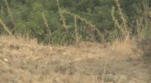 Adult Iberian Lynx Resting Behind Ridge With Only Spots On The Back Fur Visible, It's Head Is Visible For A Second Then Shot Cuts To 2 Of Her Offspring Running Along Trail Through Shrubs