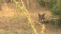 Adult Iberian Lynx With Gps/ Radio Collar Attached To Neck, Laying Partially  On Dry Yellow Grass In Clearing Close To Forest