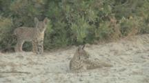 2 Young Iberian Lynx Cubs On Sandy Track Close To Bushes