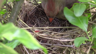 Cardinal feeding baby birds in nest