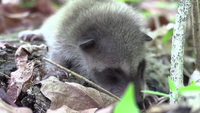 baby raccoon on forest floor eyes not open yet