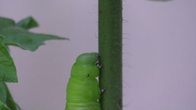 tobacco hornworm on tomato plant
