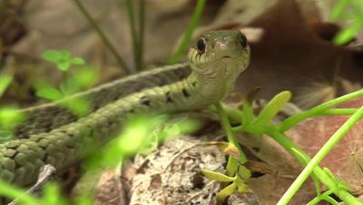 garter snake on forest floor turns head