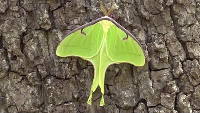 Luna moth on a tree