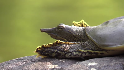 Soft shell turtle sunning on river rock