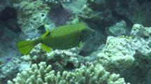 Yellow Boxfish Close To Heart Attack