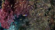 Bombie, Fish, Glassy Sweepers, Komodo, Tanjung Bacatung