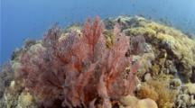Komodo, Soft Coral, Fish, Volcano Drop
