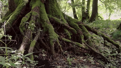 Root of an very old alder (Alnus) in the jungle of the national park Fertö-Hansag