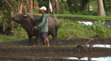Water Buffalo Pulls Plough Through Rice Field