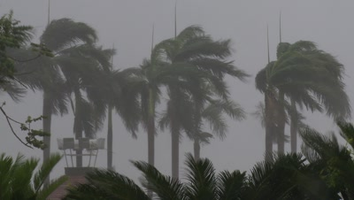 Palm Trees Blasted By Strong Typhoon Winds