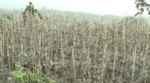 Cucumber Crop Severely Damaged By Volcanic Ash From Mount Merapi