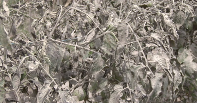 Volcanic Ash Coated Dying Tomato Plants