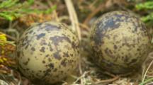 Arctic Tern Eggs In Nest
