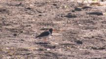 Eurasian Oystercatcher Vocalizes On Empty Landscape