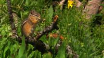 Chipmunk Eats Dandelion - Medium/Wide
