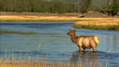 Cow Elk Stands In River, Nice Light - Medium/Wide