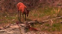Cow Elk Stands Over Newborn Calf