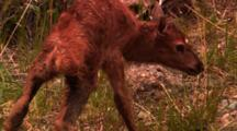 Newborn Elk Calf Stands For The First Time On Wobbly Legs - Tight