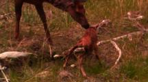 Elk Calf Walks For The First Time On Wobbly Legs, Cow Elk Comes Over - Medium