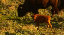 Bison Calf Walks Along With Herd - Medium
