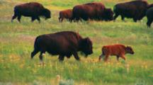 Bison Herd And Calves Walk Through Meadow