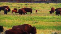Bison Calves Play In The Midst Of Herd - Wide