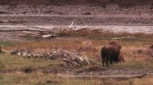 Bison Cow Watches Coyote Walk Away From Her And Her Newborn Calf - Wide