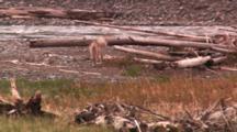 Coyote Retreats From Bison Cow Defending Her Calf - Medium