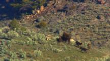 Pack Of Wolves Attacks Bison Cow And Calf