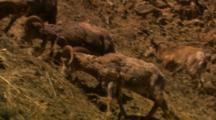 Bighorn Sheep Rams Feed On Steep Slope, Send Rocks Tumbling - Wide