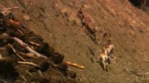 Bighorn Sheep Walk Up Steep Hill