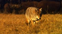 Coyote Hunting For Mice In Golden Grass Walks In Front Of Bison, Searches Intently - Medium