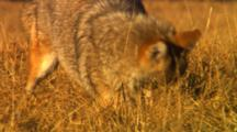 Coyote Hunting For Mice In Golden Grass, After Pounce, Missed Mouse, Leaves Frame - Tight
