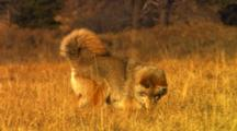 Coyote Hunting For Mice In Golden Grass, Eats Mouse After Successful Pounce - Tight