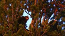 Black Bear Eats Whitebark Seeds In Top Of Dense Whitebark Tree In Golden Light - Medium