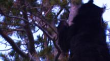 Black Bear Climbs Up Into The Top Of A Whitebark Tree To Eat Cones - Tight