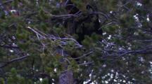 Black Bear Climbs Down Whitebark Tree, Climbs Through Frame - Medium
