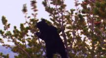 Black Bear In Top Of Whitebark Pine Tree Pins Cone Against Trunk And Eats Pine Seeds, Then Climbs Up Tree To Get More Cones From The Top - Wide