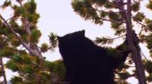 Black Bear In Top Of Whitebark Pine Tree Carries Cone Down Tree To Eat - Medium