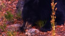 Black Bear Eats Whitebark Pine Seeds While Laying Down Then Gets Up And Walks Away - Tight