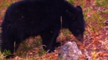 Black Bear Cub Eats Whitebark Pine Seeds Off Of The Forest Floor - Medium