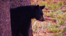 Black Bear Cub Stands Between Two Whitebark Pine Trees - Tight